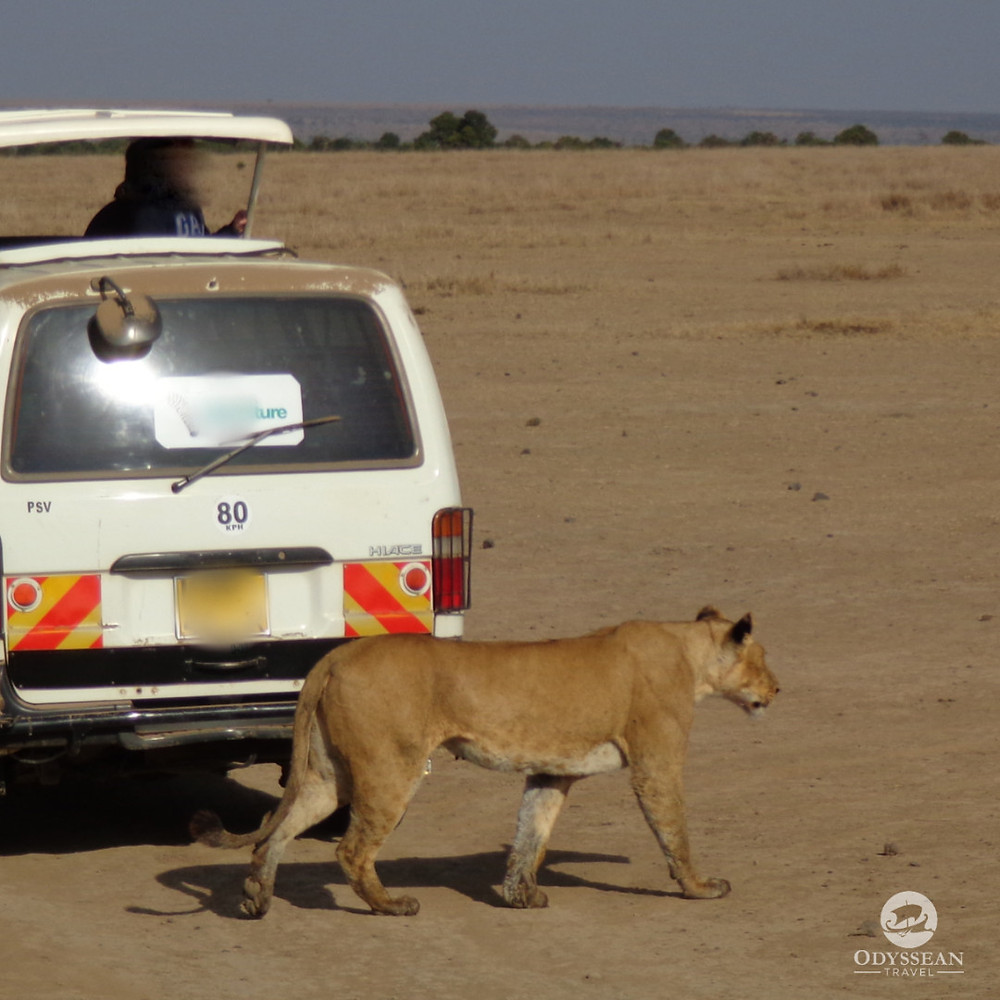 a large lion stalks prey in Kenya within a metre of a parked vehicle