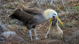 Waved Albatross feeding a chick