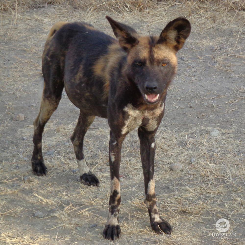An African Wild Dog close up