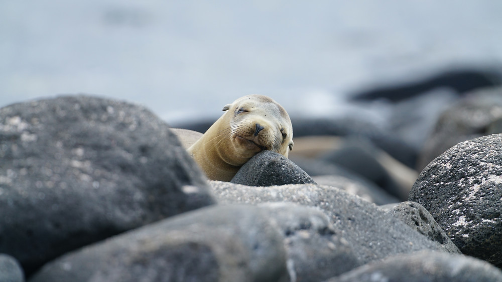 A sea lion pup rests its head on rocks as it snoozes on the shores of the Galapagos Islands