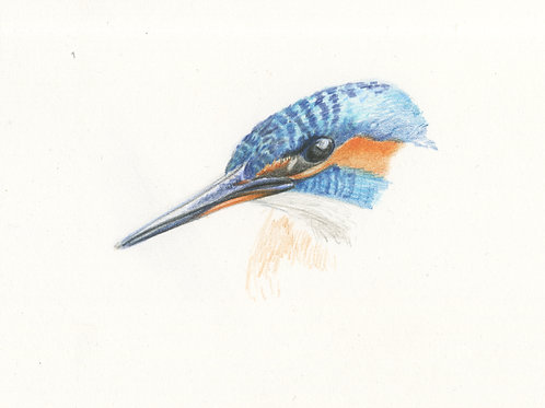 Kingfisher head study