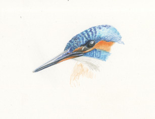 Kingfisher sketch