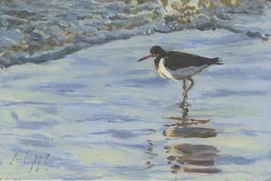 Oystercatcher on the shoreline
