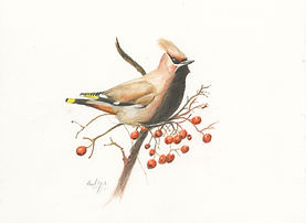 Waxwing coloured pencil sept 2020.jpg