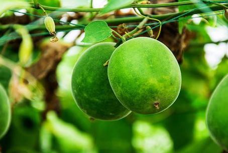 Health Benefits of Lo Han Guo (Monk Fruit)
