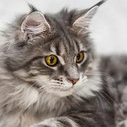 Cat_Breed_MaineCoon_1000x1000.jpg