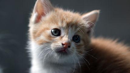 cat-kitten-pet-domestic-animals-cute-cat