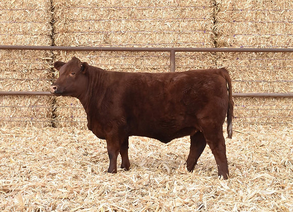 LOT 62 ASHVALLEY DUCHESS 0289