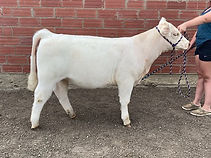 Shorthorn Steer 4305849.jpg