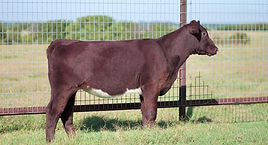 Shorthorn Steer 4305849.jpg