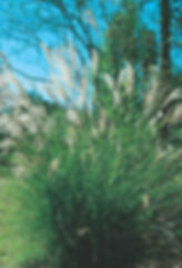 Maiden Grass TNLA.jpg