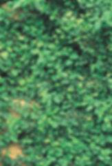 Ivy, Fig TNLA.jpg
