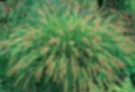 Fountain Grass.jpg