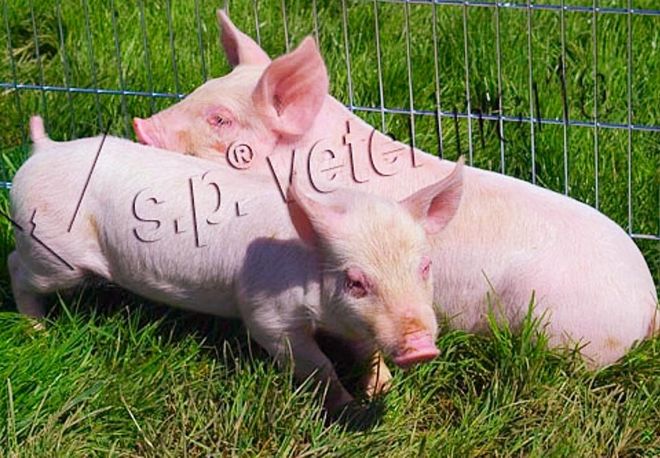 pigs_final_edited