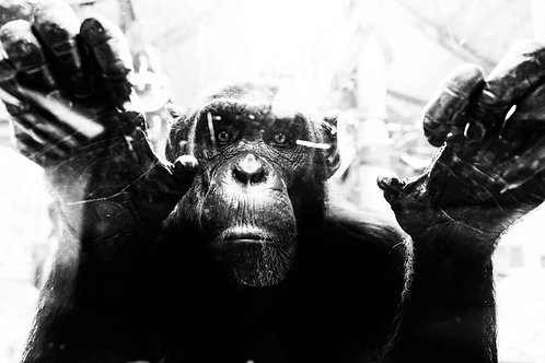 Pepper the Chimp