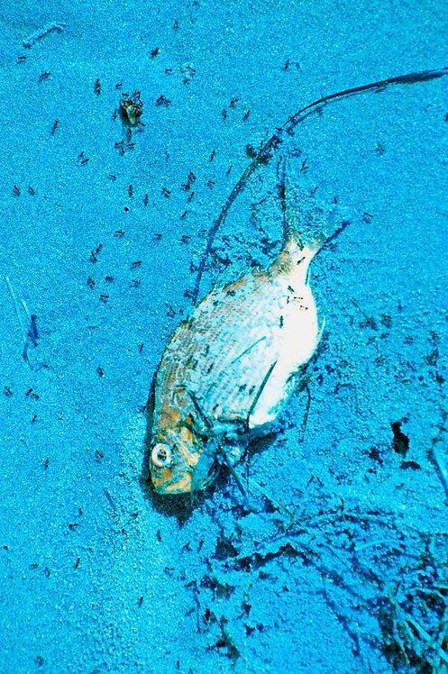 Blue Dead Fish