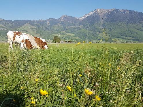 Vollweide Kälber und Kühe auf der Weide