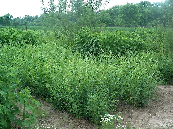 Sida - willow.jpg
