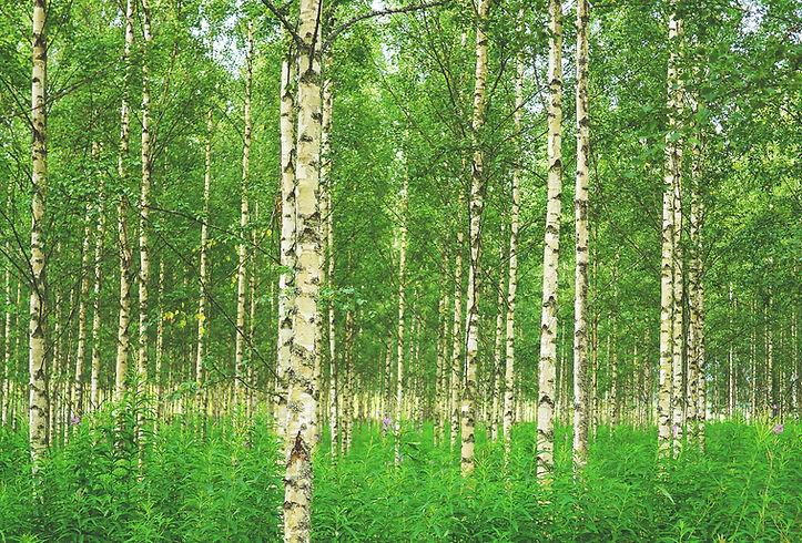 birch-tree00_edited.jpg