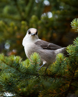 Bird Sitting on Evergreen Tree