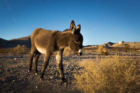 Baby Donkey in the Desert