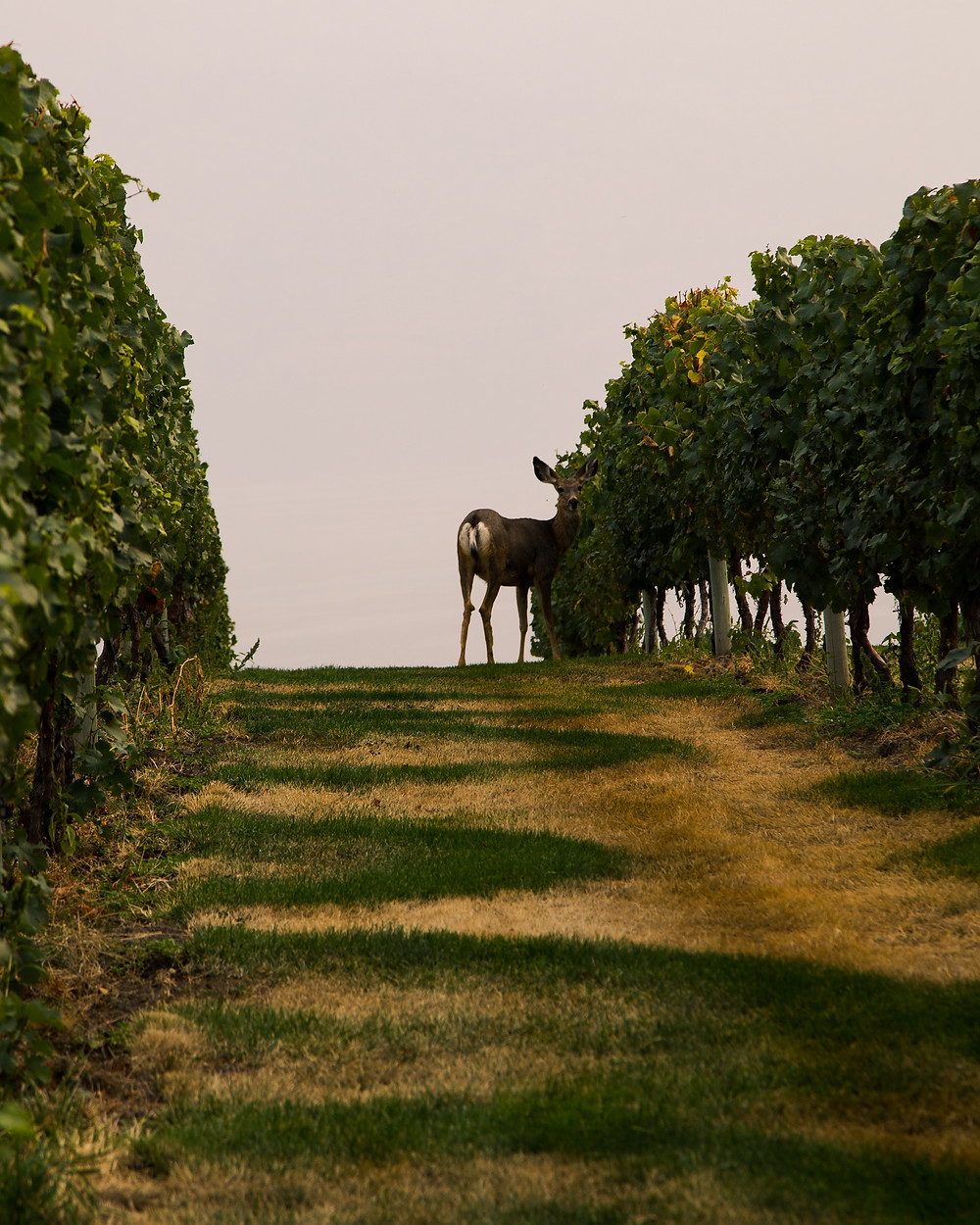 Deer in Mission Hill Winery Vineyard, BC