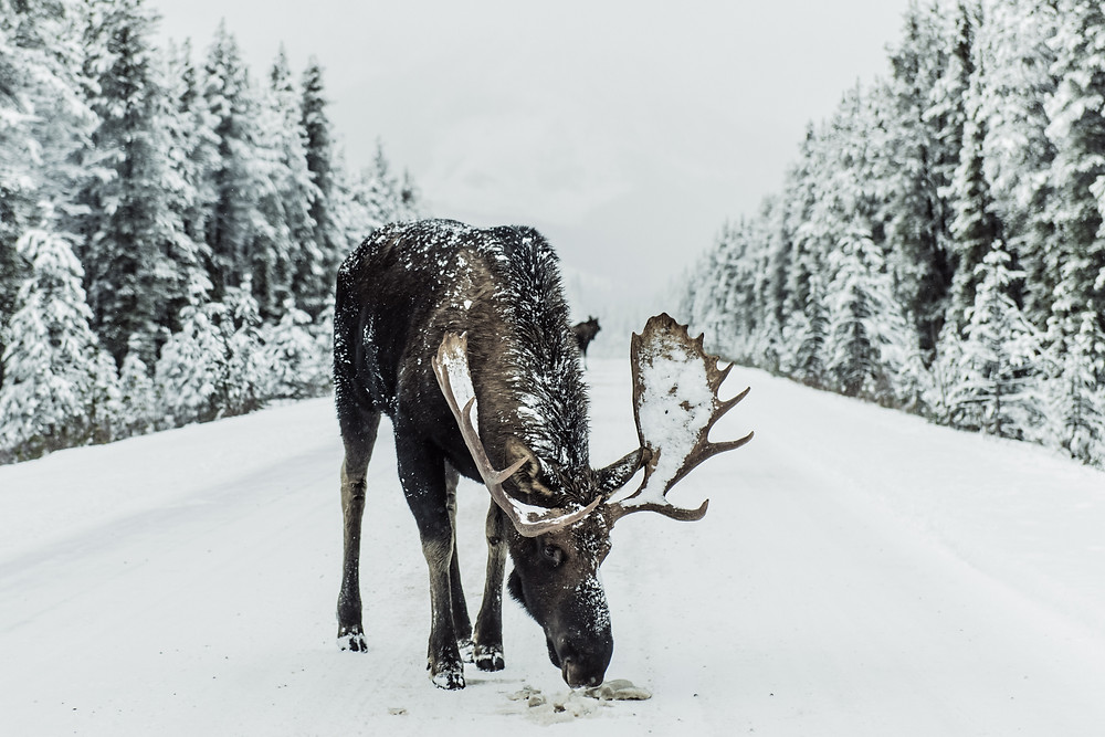 Moose in Quebec, Canada during Winter