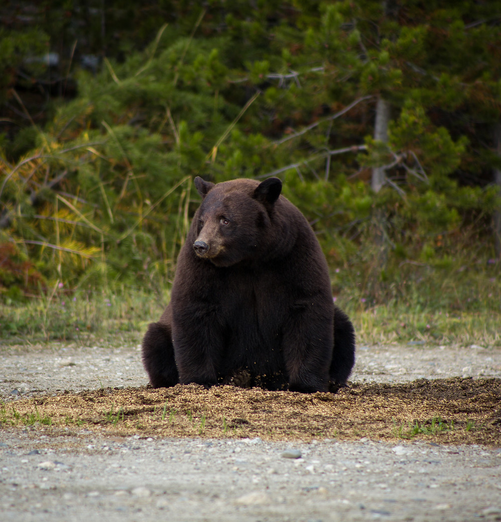 Black Bear in Blue River, BC