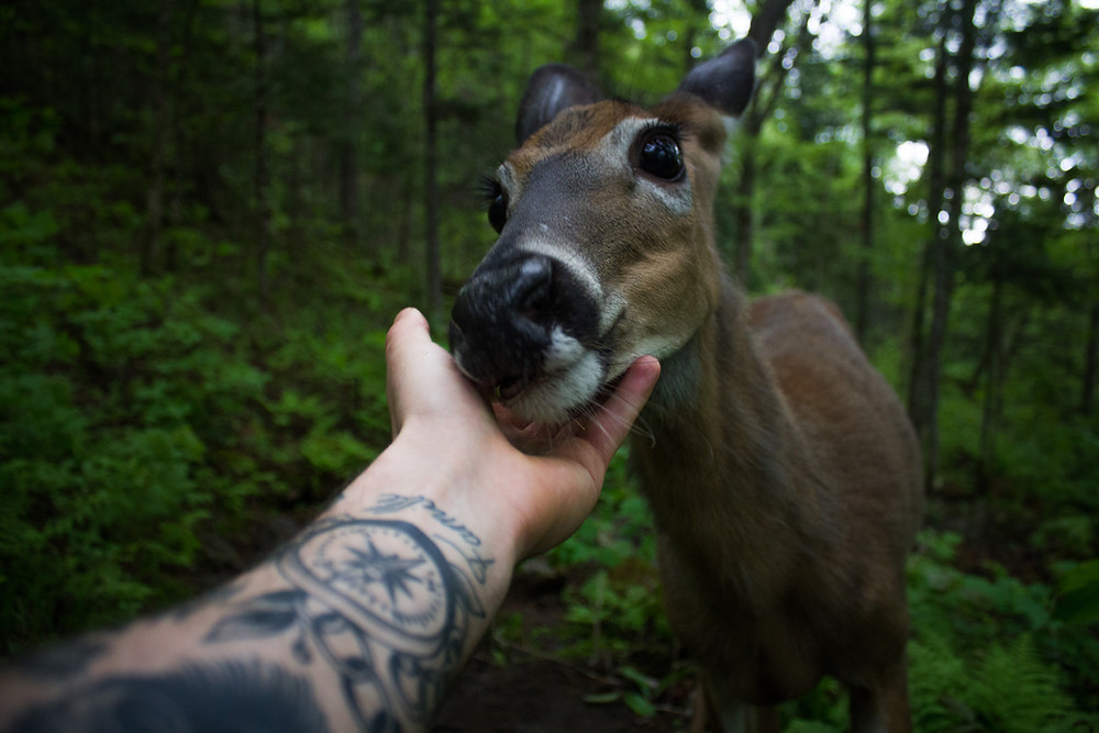 Human touching deer in Jacques-Cartier, Quebec, Canada