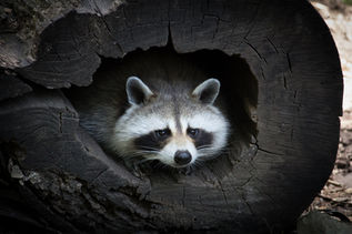 Raccoon in a Log
