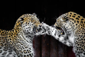 Leopard Fight