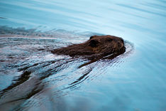 Beaver with Sky Blue Water Swimming