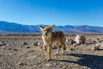 Friendly Coyote