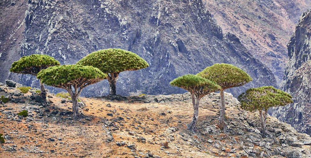 Dragon Blood Trees in Socotra, Yemen