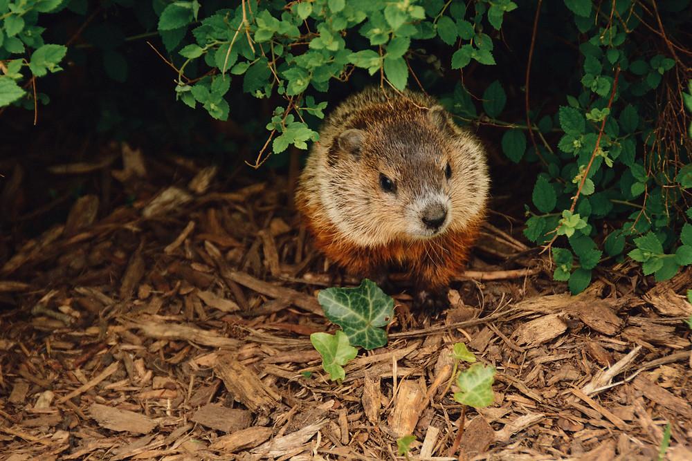 Beaver in Quebec, Canada