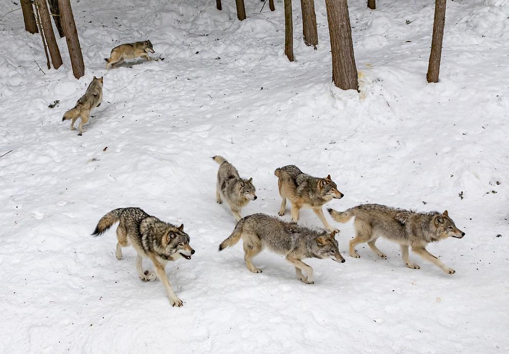 Wolves in Parc Omega, Quebec, Canada
