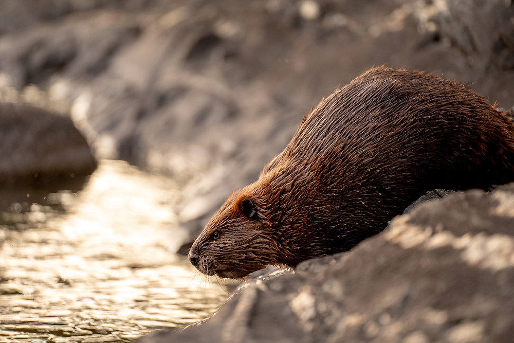Beaver, Plaisance National Park
