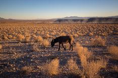 Donkey Crossing the Desert Plains