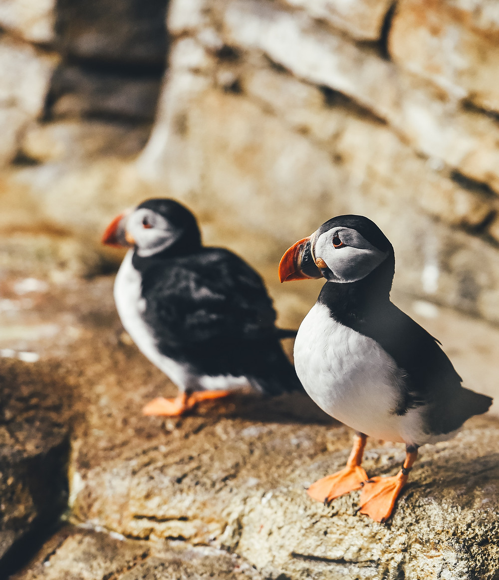 Puffins at Biodome de Montreal