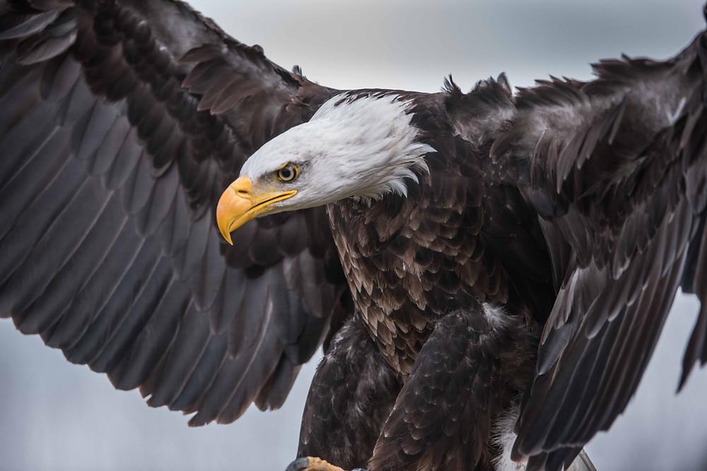 Bald Eagle in Quebec, Canada