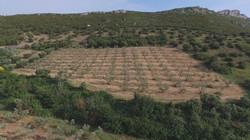 Verger d'oliviers au destet