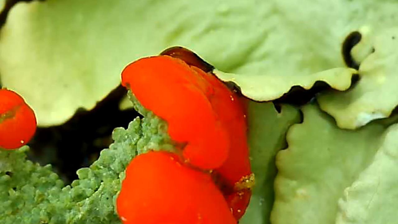 Ohhhhhh.... Cladonia Cristatella!