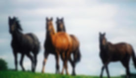 four-thoroughbred-horses-in-a-field-the-irish-image-collection-_edited.jpg