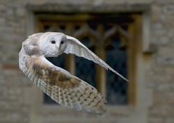 768 Barn Owl  1_479Z