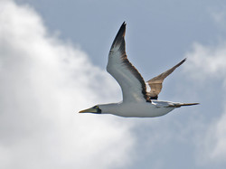 _red footed booby 4602