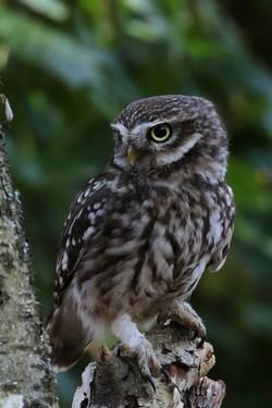 L Owl 0912