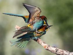 European Bee-eaters 2