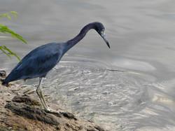 Little blue heron 0918