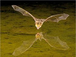 Pallid Bat over Pool