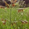 #nativegrass #rotarymeadow #mountsutro #